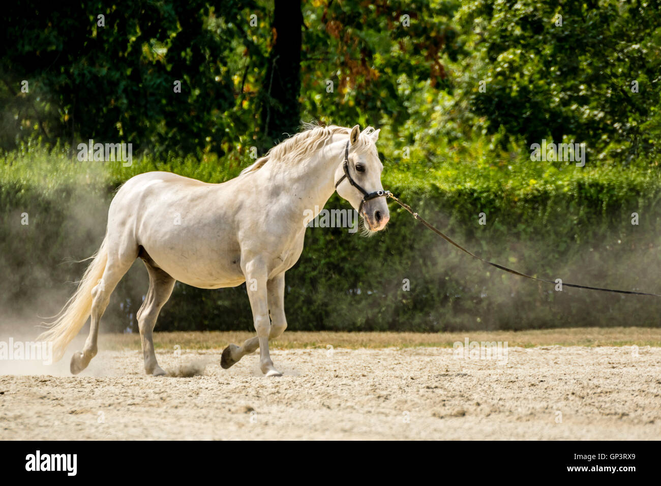 Lipizzaner Stock Photo