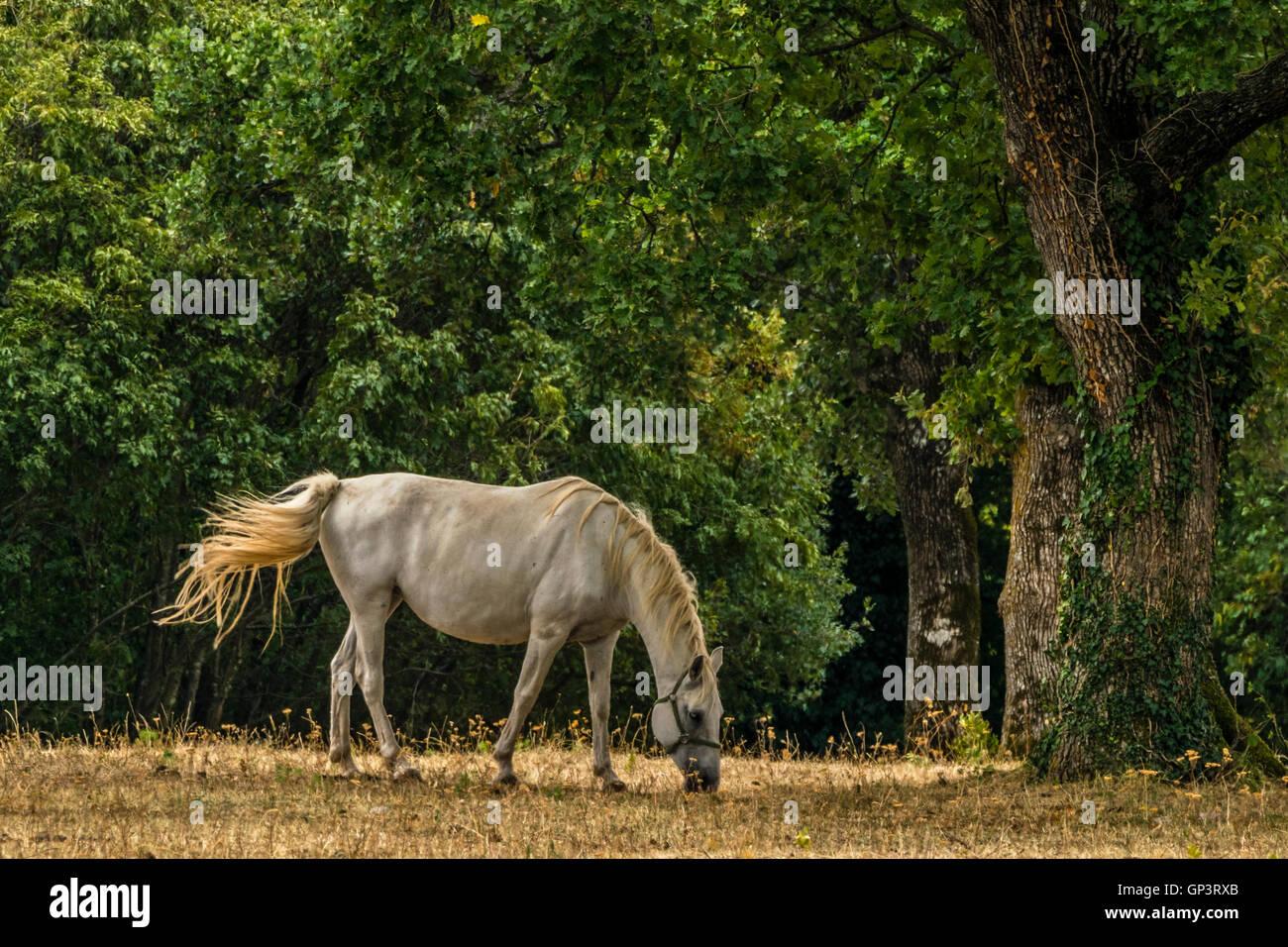 Lipizzaner horse on pasture Stock Photo