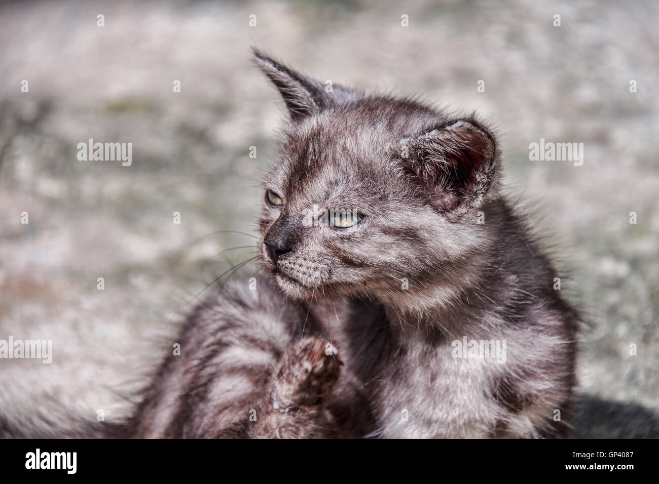 Cat or cats as pets mammals in the family Felidae family tree of the Siberian tiger. - Stock Image