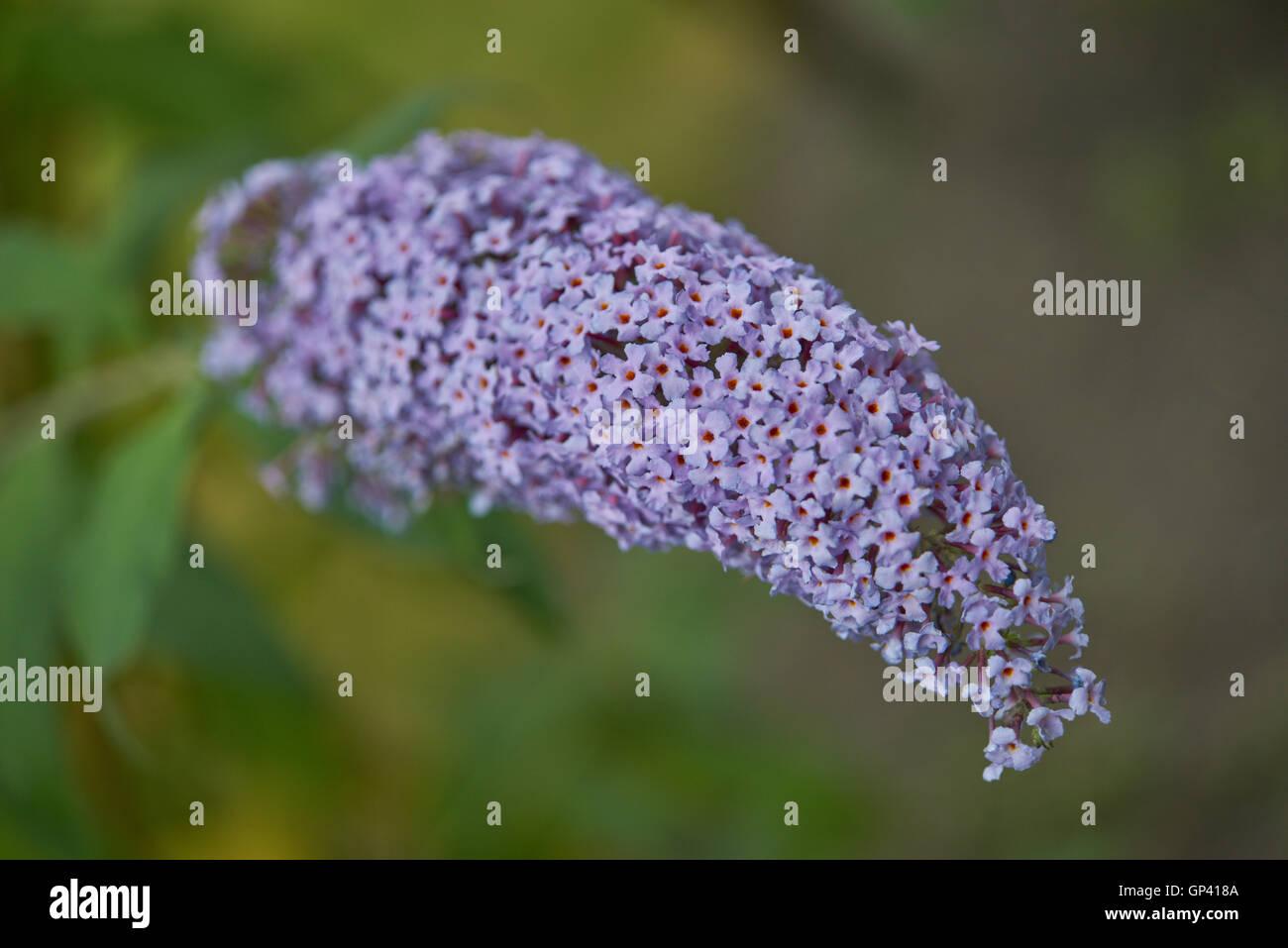 Purple butterfly bush Buddleia davidii blossom close up - Stock Image