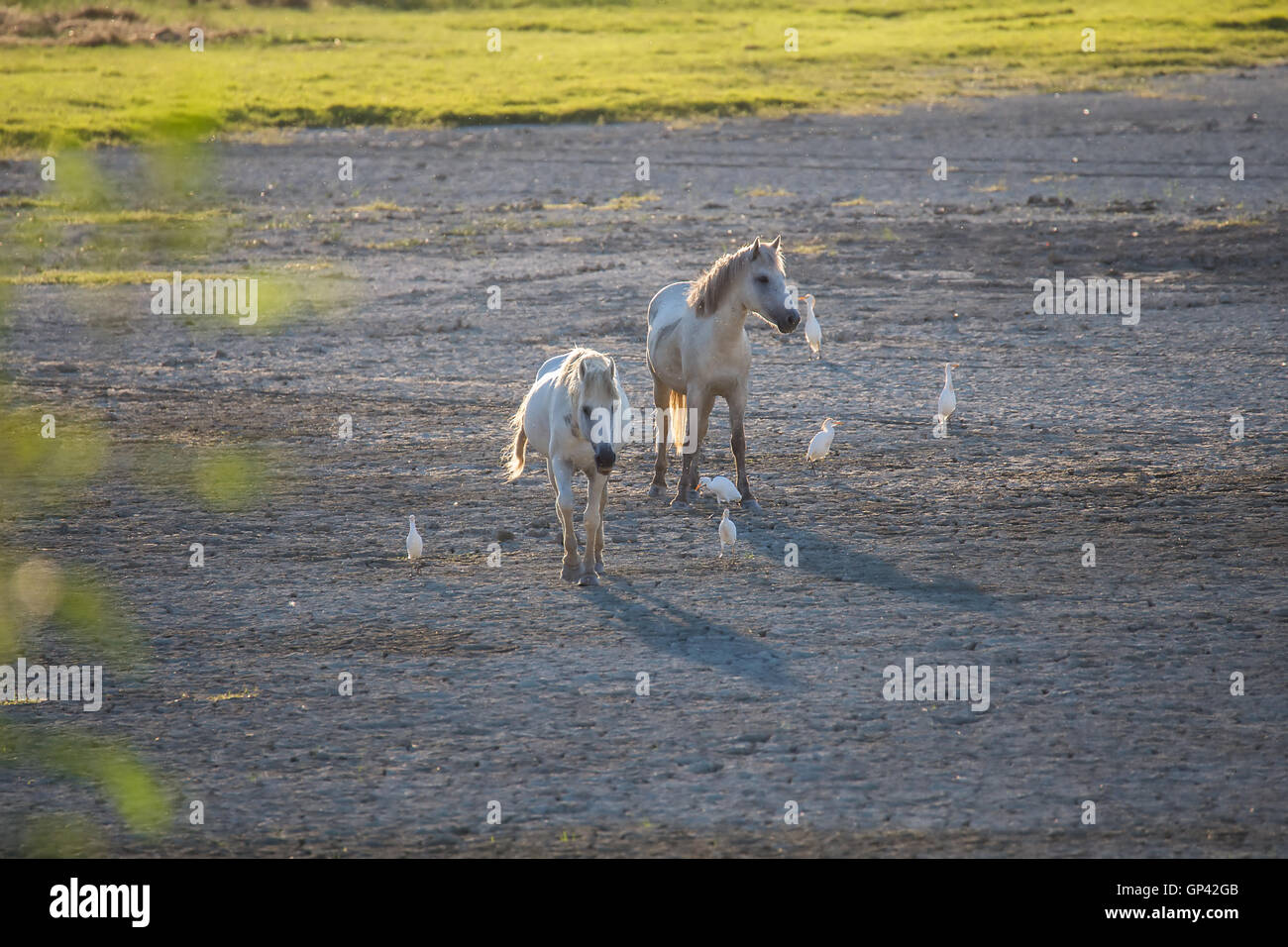 White camargue horses and cattle egrets (Bubulcus ibis) Stock Photo