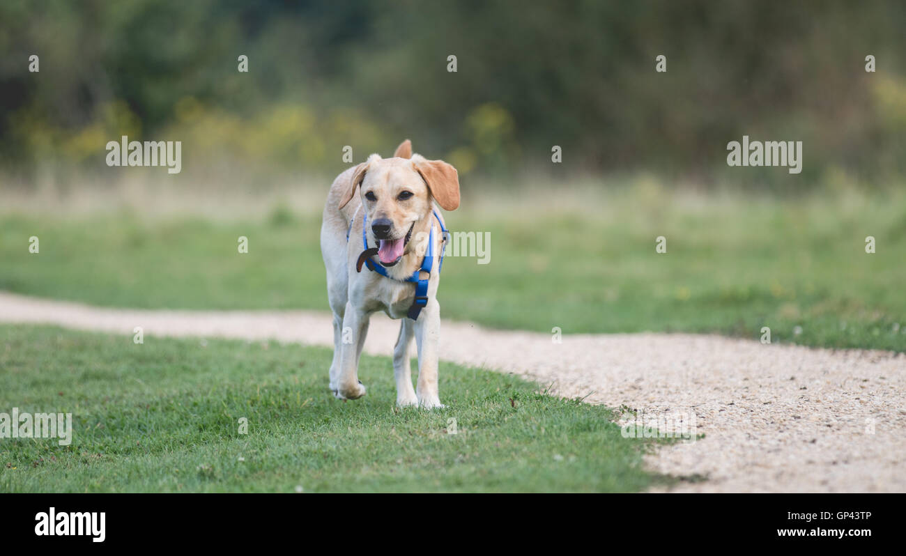 Cute Labrador cross Poodle puppy enjoying time out. - Stock Image