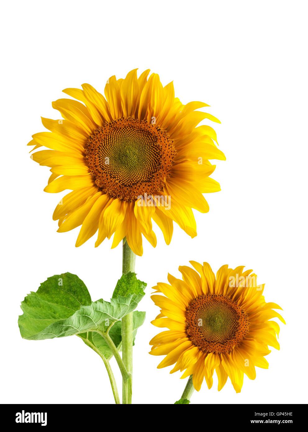 Beautiful Sunflower Frame Isolated Stock Photos & Beautiful ...