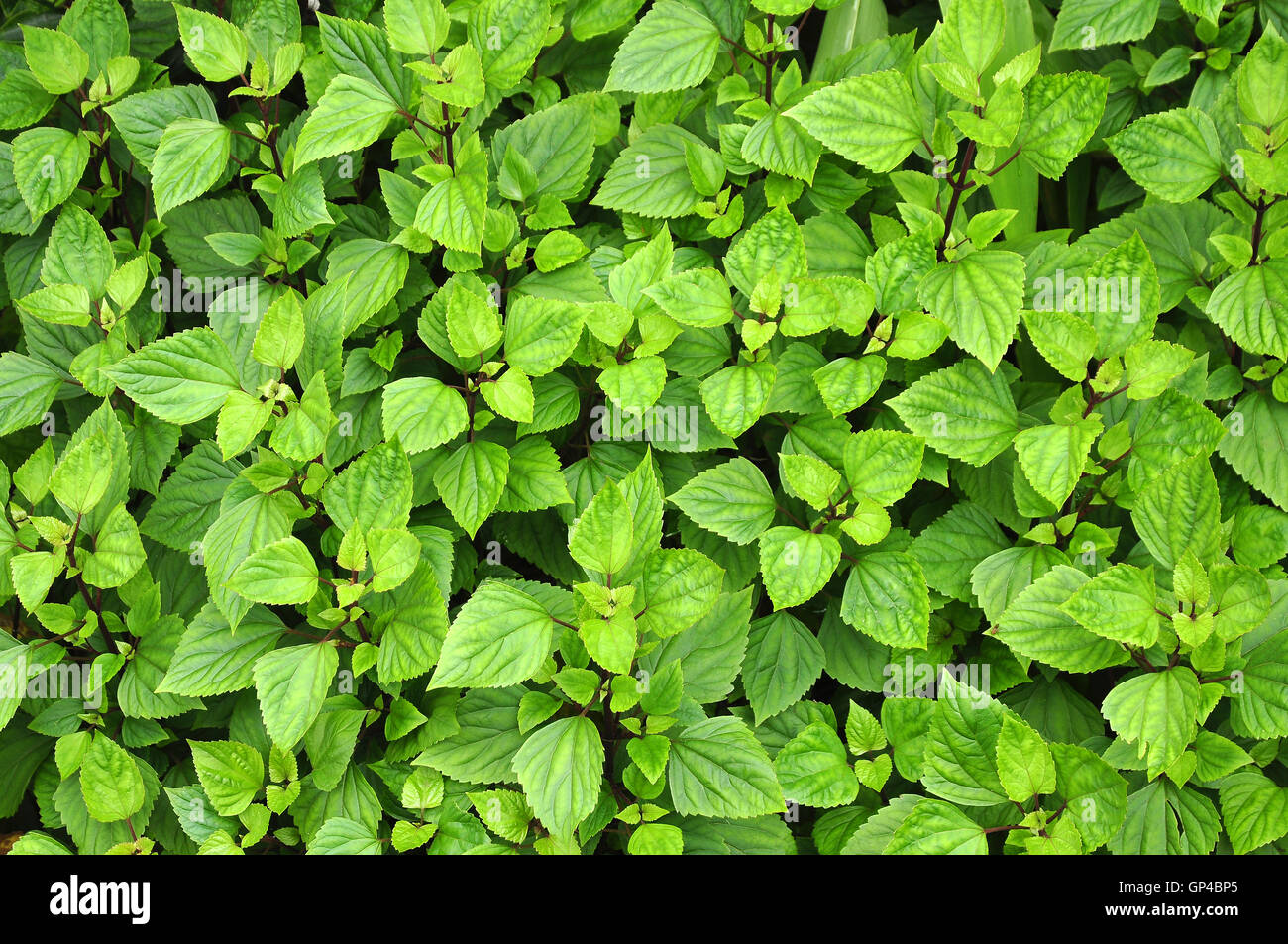 Green serrated  leaves - Stock Image