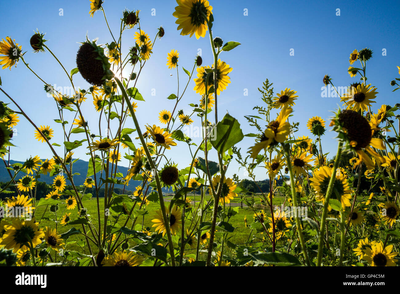 Common Sunflower; Helianthus annuus; Asteraceae; CR108; Salida; Colorado; USA - Stock Image