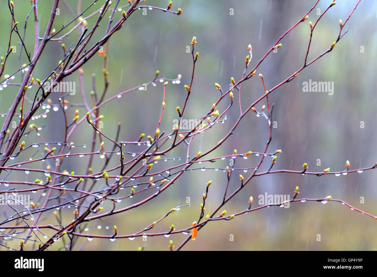 Rain drops and fog build up on the branches. Posting closeup camera - Stock Image