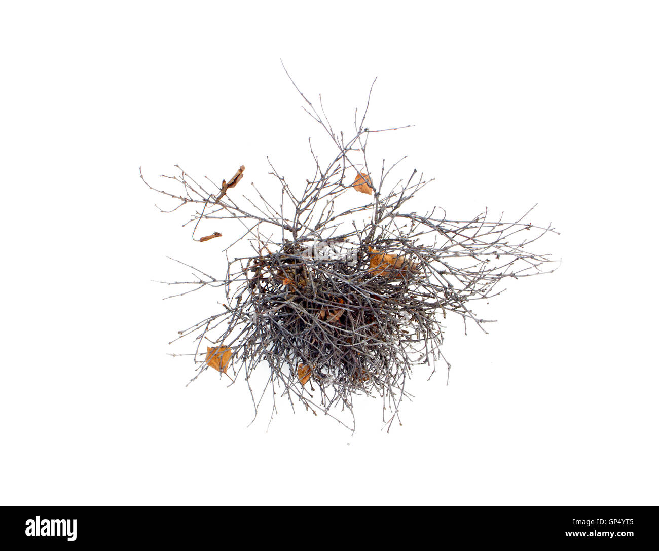 pathological growth of branches on a tree isolated - Stock Image