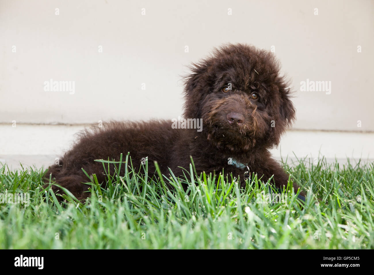 cute curly haired chocolate brown labradoodle puppy dog lays in the grass with grass on his face by a blank wall. - Stock Image