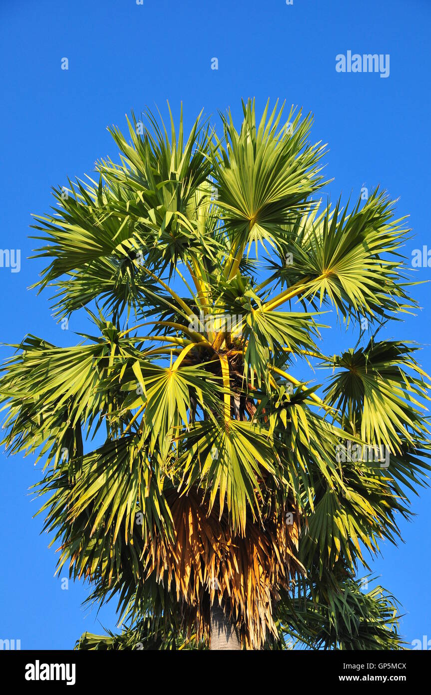 Borassus flabellifer, Asian Palmyra palm or Toddy palm or Sugar palm or Cambodian palm - Stock Image