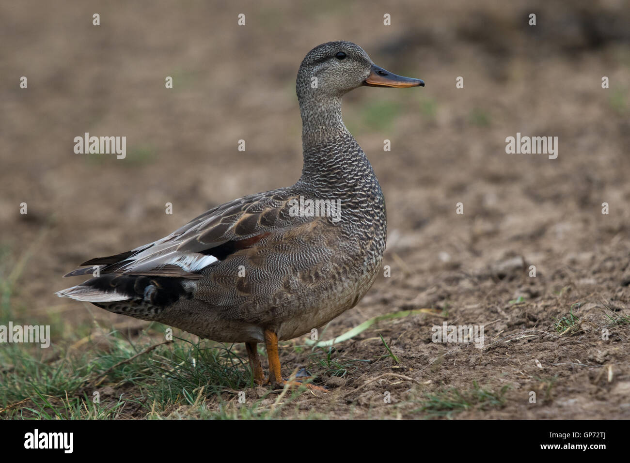 male Gadwall (Anas strepera) standing on bare earth - Stock Image