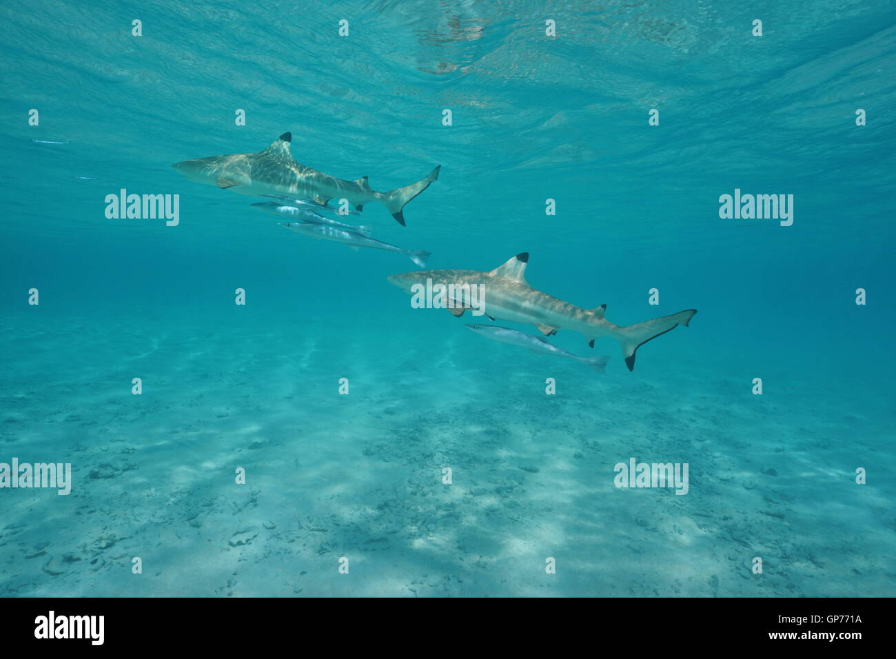 Two blacktip reef sharks with remoras fish underwater in the lagoon of Tikehau, Tuamotu, south Pacific ocean, French - Stock Image