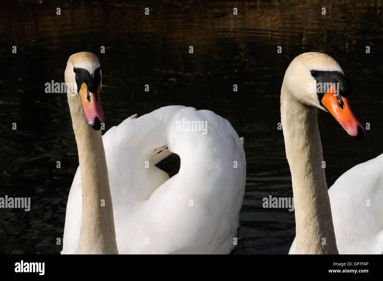 A pair of mute swans (Cygnus olor). - Stock Image