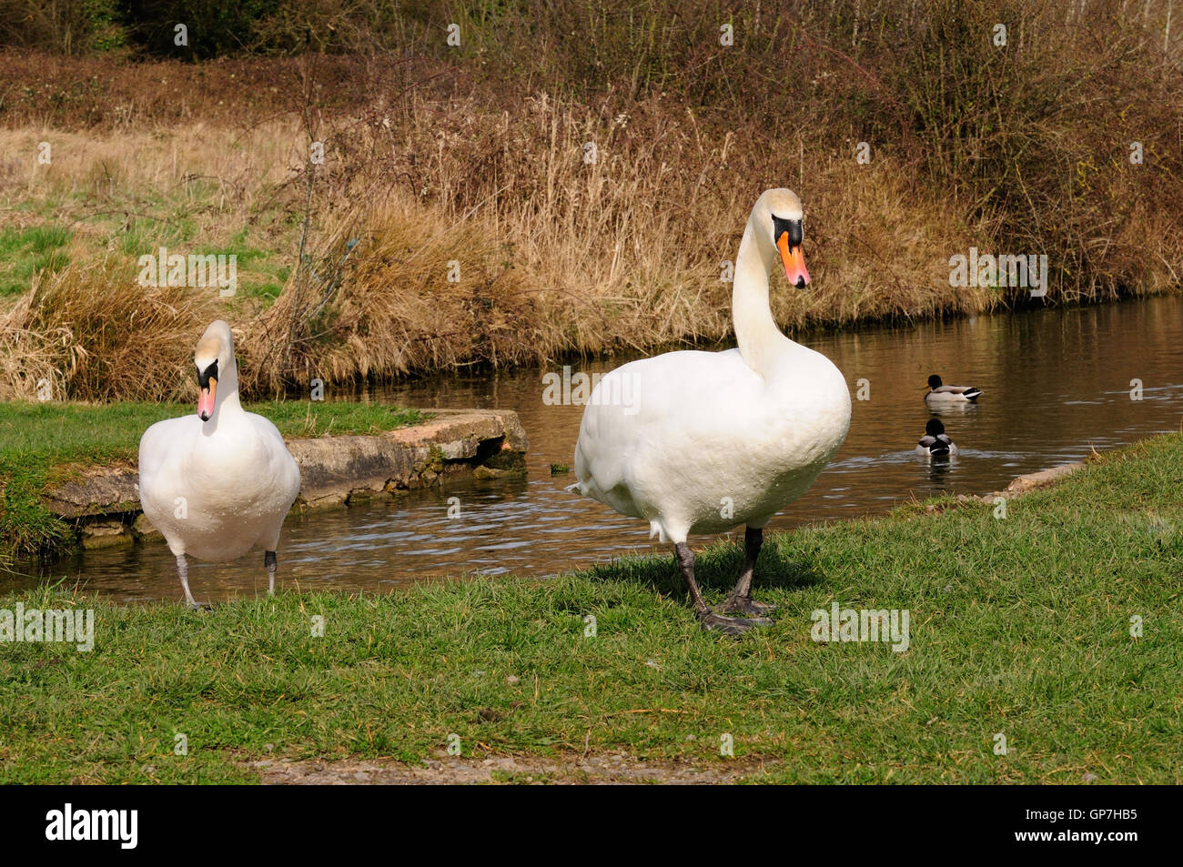A pair of mute swans walking across a canal bank in an aggressive manner (Cygnus olor). - Stock Image