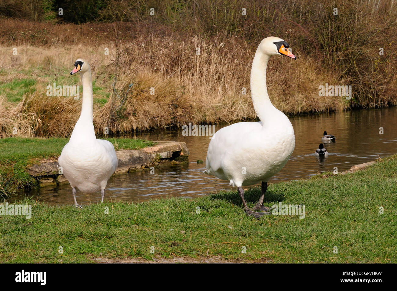 A pair of mute swans standing on a canal bank with necks raised in an aggressive manner (Cygnus olor). - Stock Image