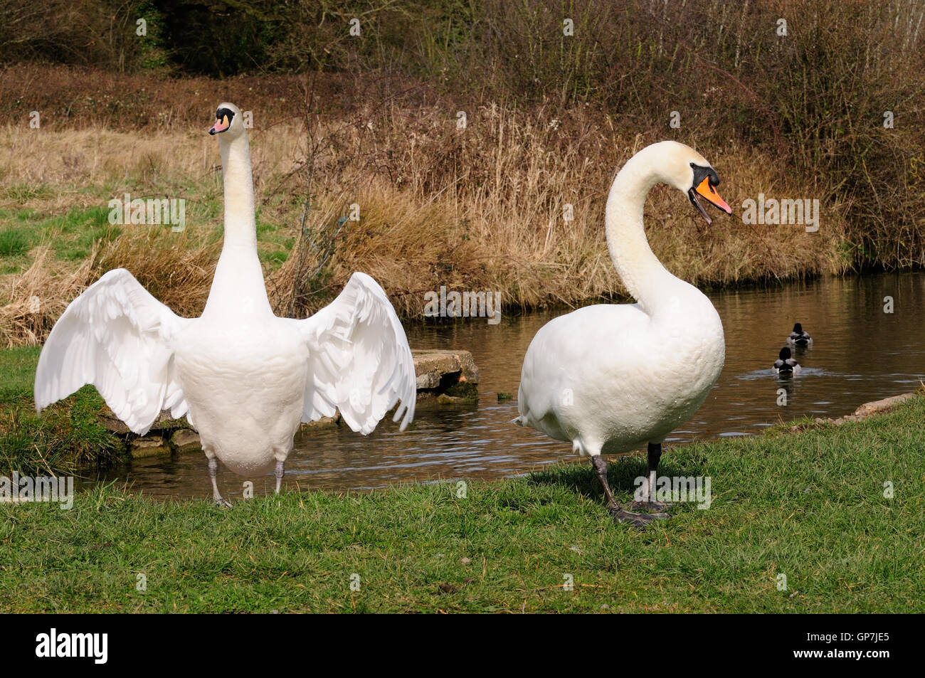 A pair of mute swans defending their territory on a canal bank, one with wings outstretched and neck extended as - Stock Image