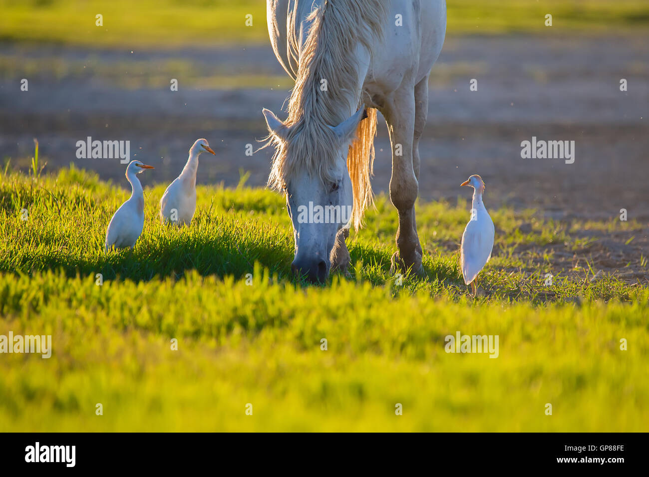 Camargue horses with cattle egret on the meadow - Stock Image