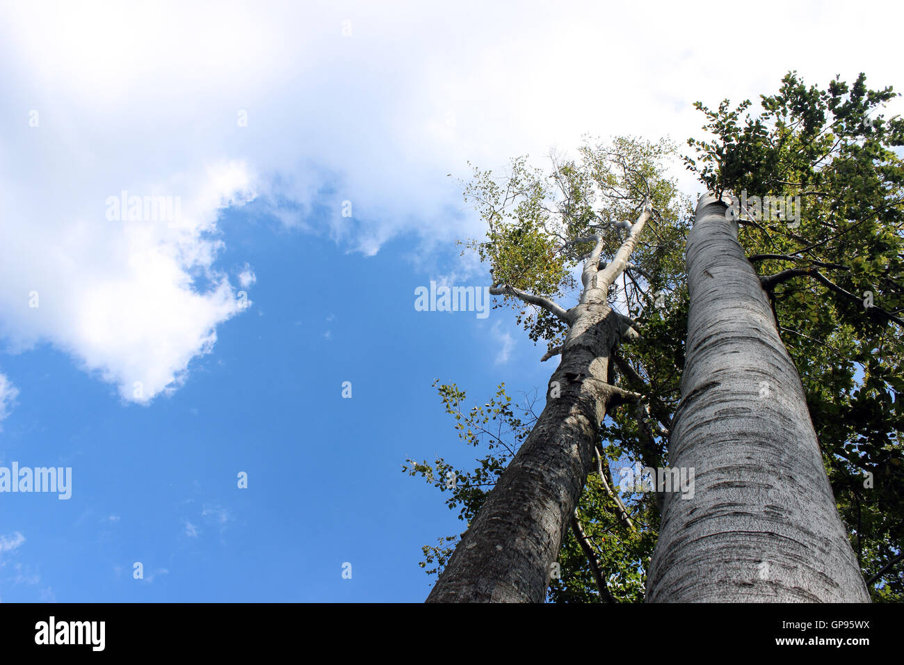 Trees reaching for the sky with clouds, viewed from below - Stock Image