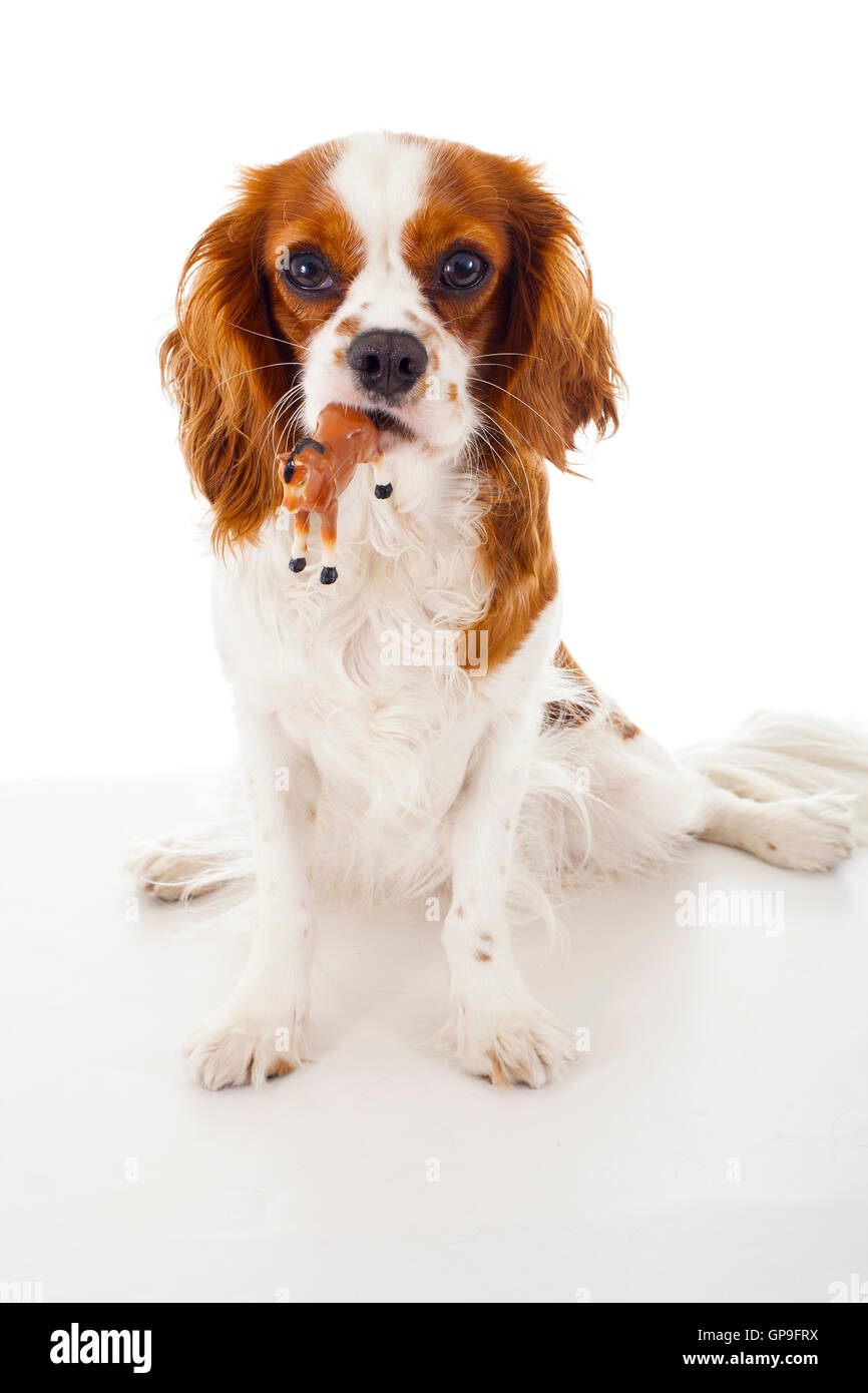Best king charles spaniel trained dog photos - Stock Image