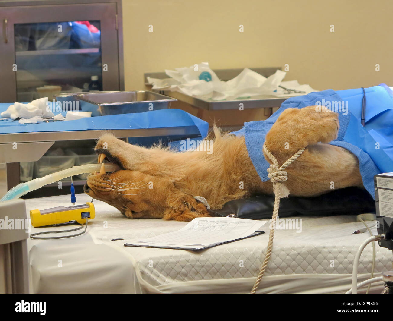 A lioness on the operating table, having surgery - Stock Image