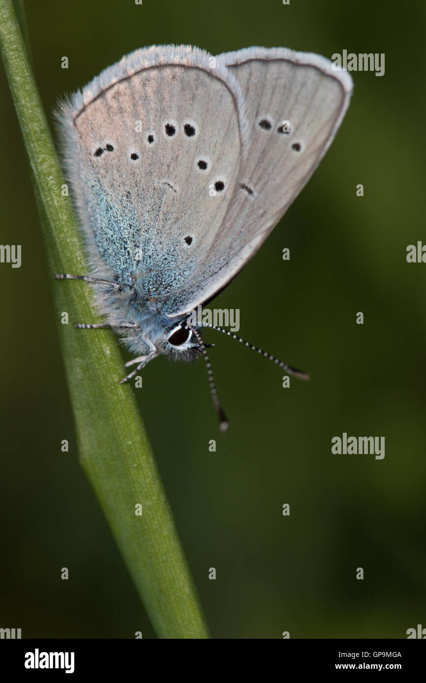 Mazarine Blue (Cyaniris semiargus) resting on a grass stem - Stock Image