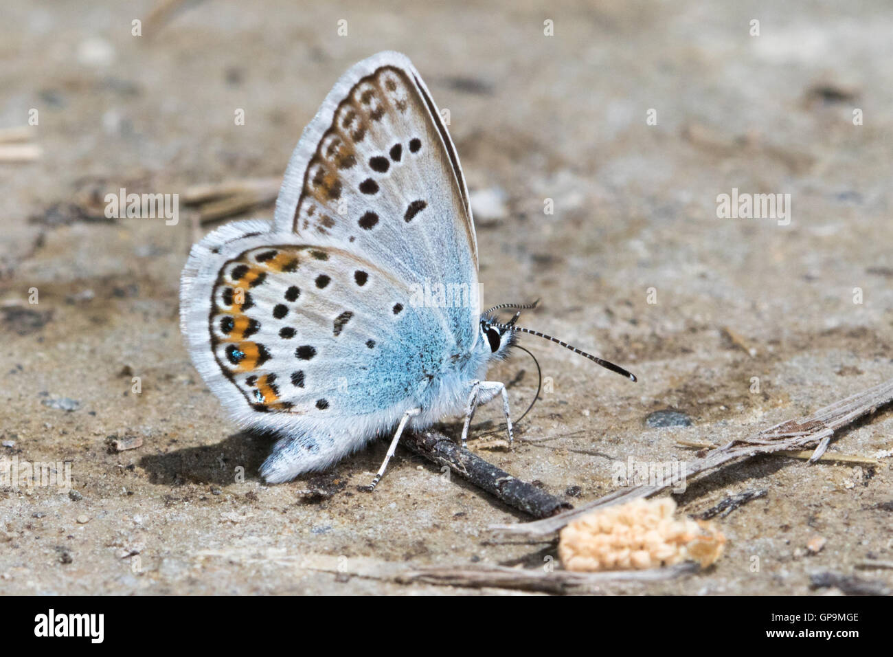 Silver-studded Blue (Plebejus argus) drinking from damp earth - Stock Image