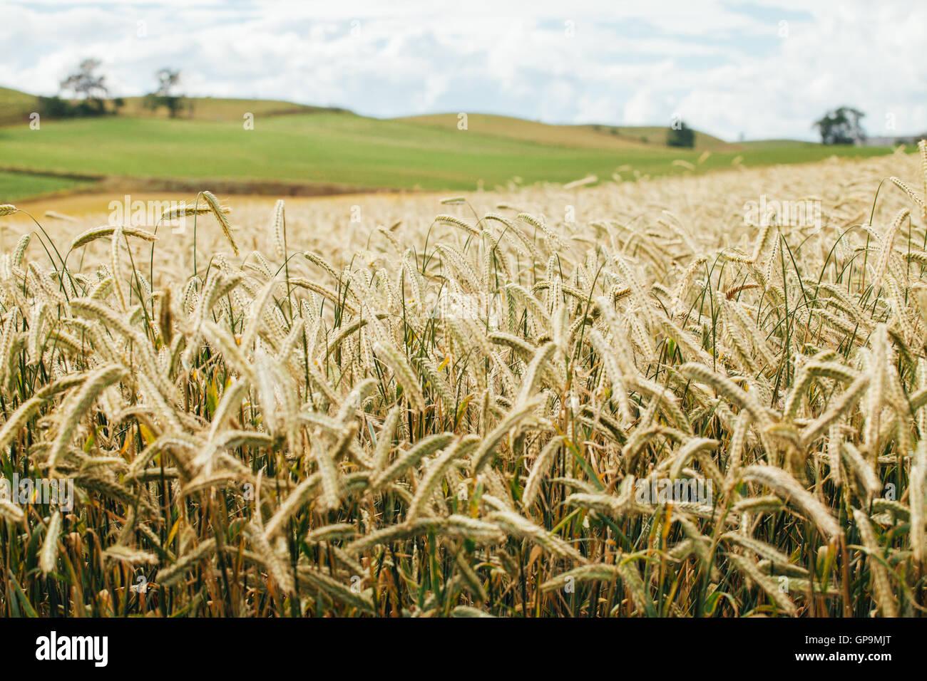 Wheat fields, Skåne, Sweden - Stock Image