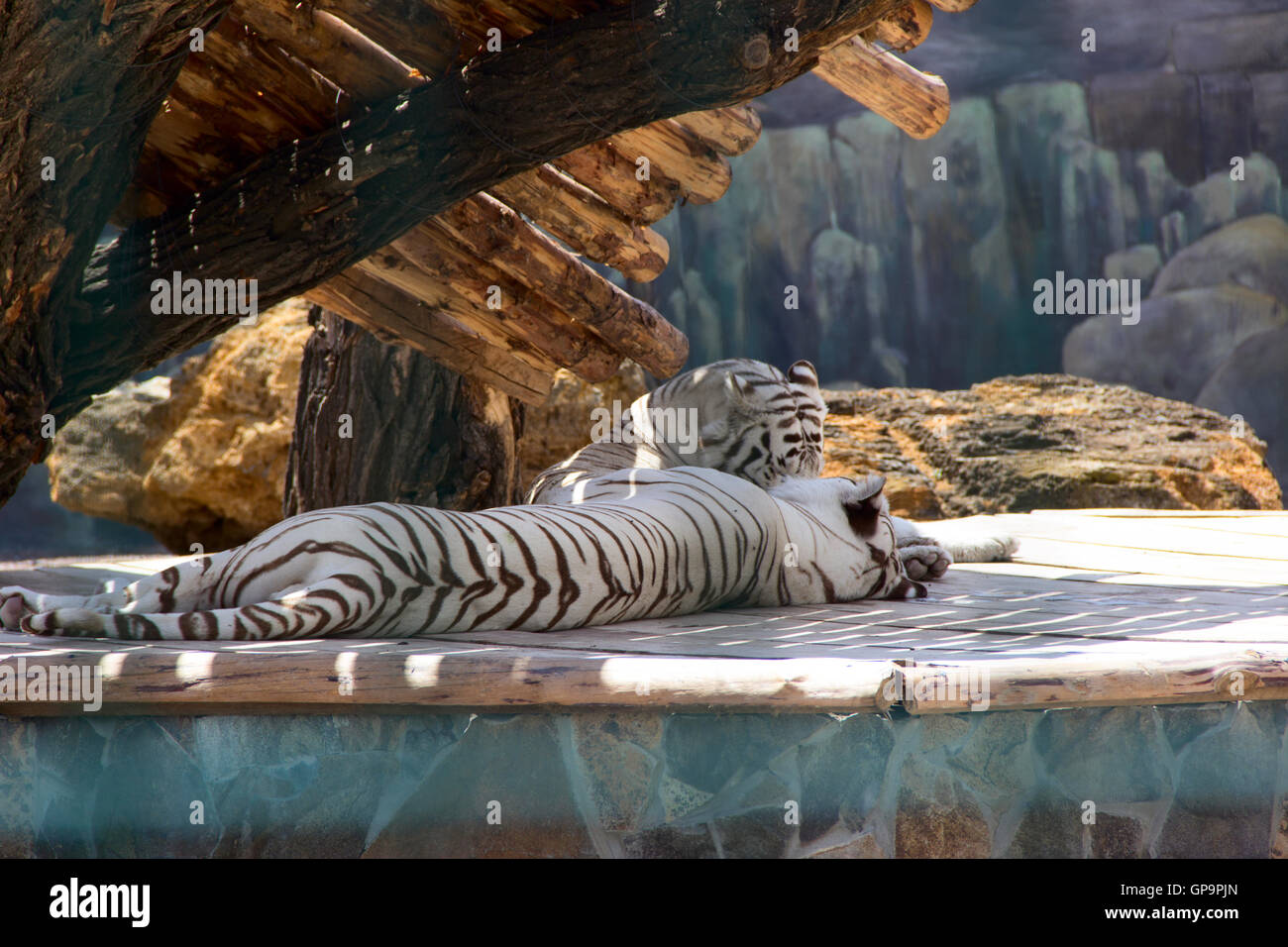 Family of white tigers. photo - Stock Image