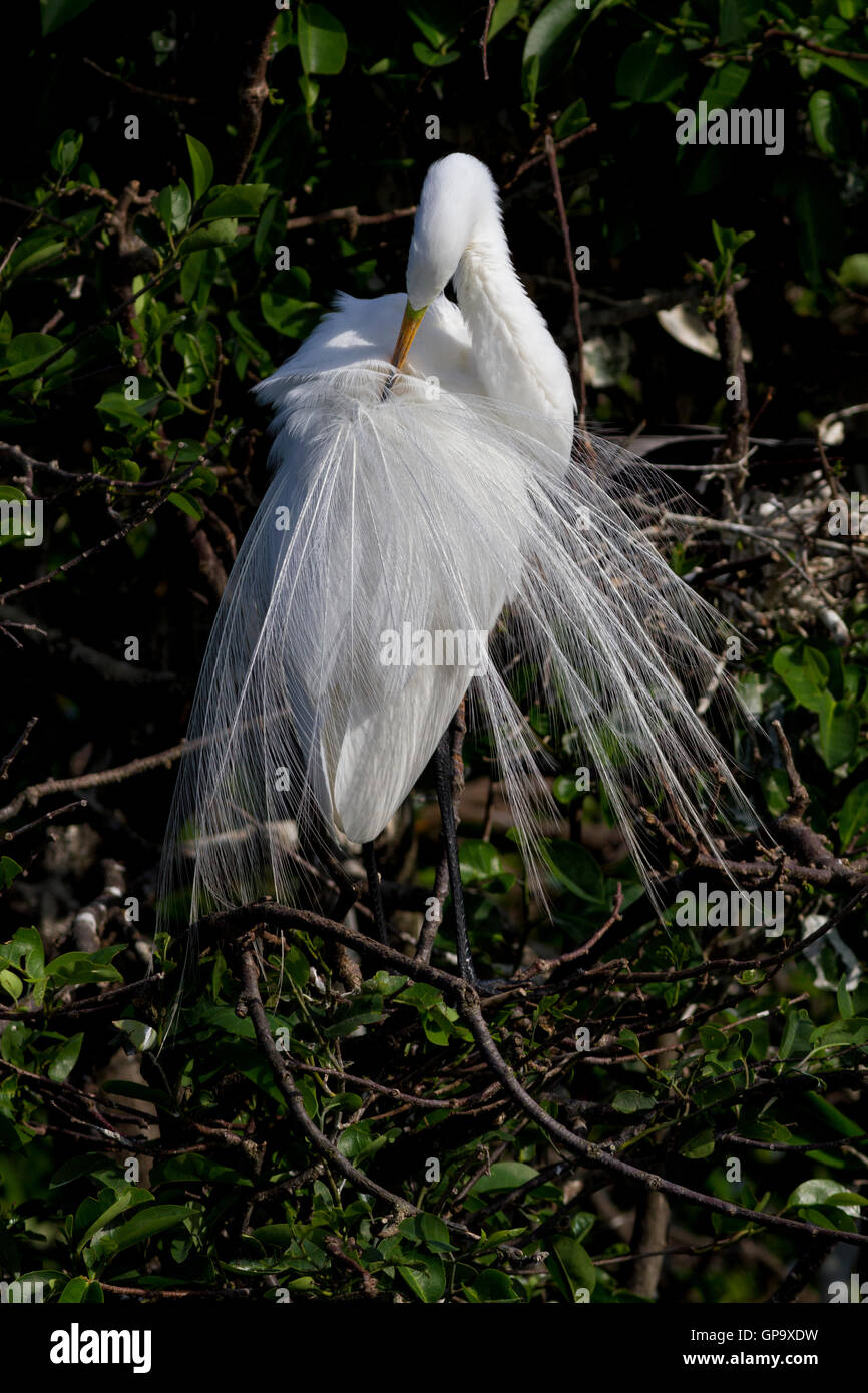 White Egret preens its lovely aigrettes or ornamental back plumes present only during the breeding season. - Stock Image