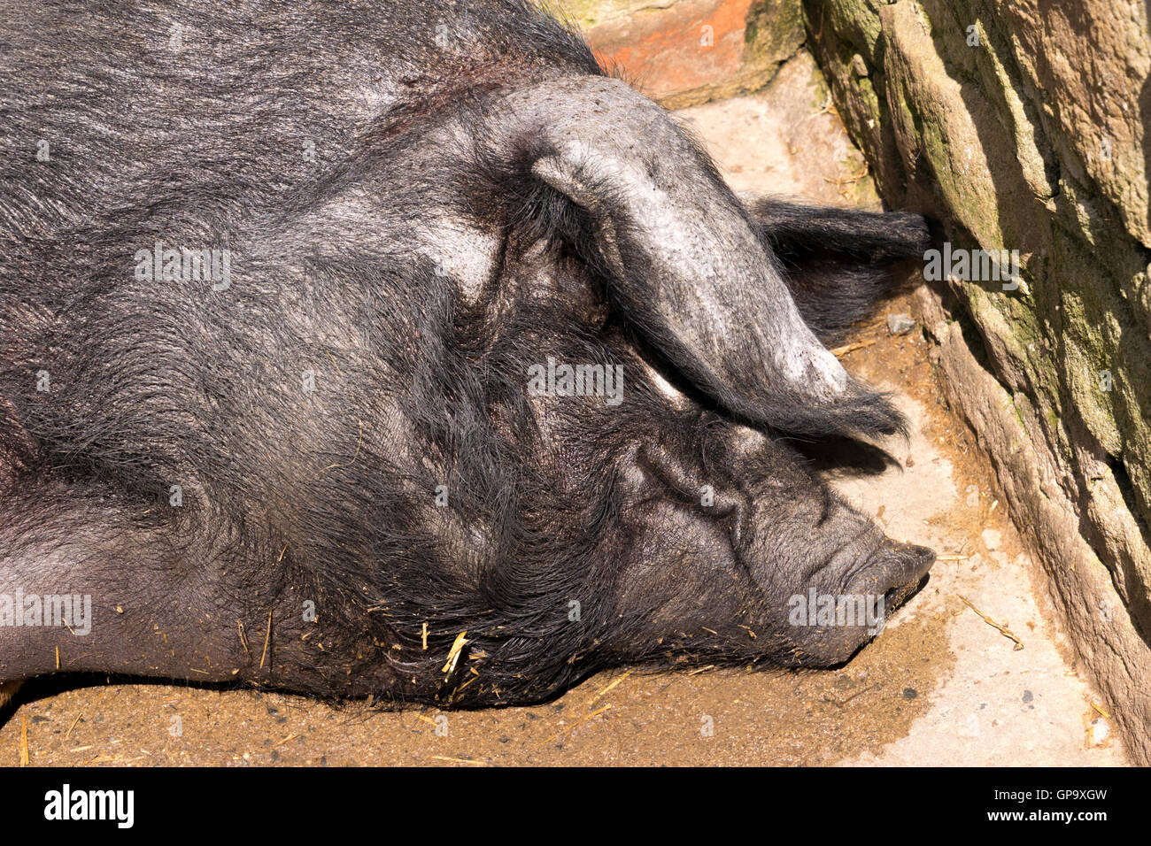Black pig naps and sunbathes in Beamish Museum - Stock Image