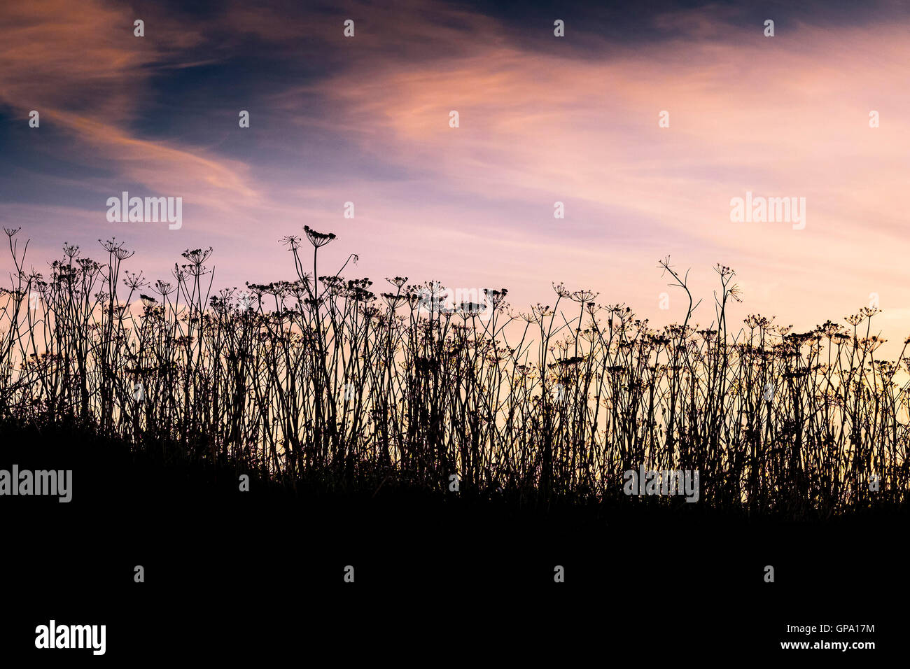 Cow Parsley seen in silhouette.  Anthriscus sylvestris. - Stock Image