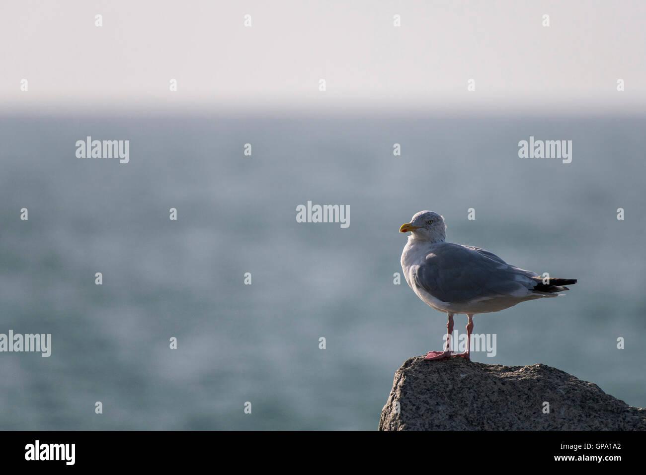 A European Herring Gull.  Larus argentatus. - Stock Image