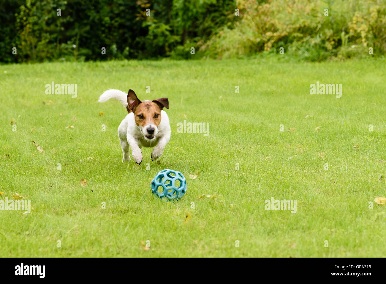 Active dog jumping on ball playing on summer lawn - Stock Image
