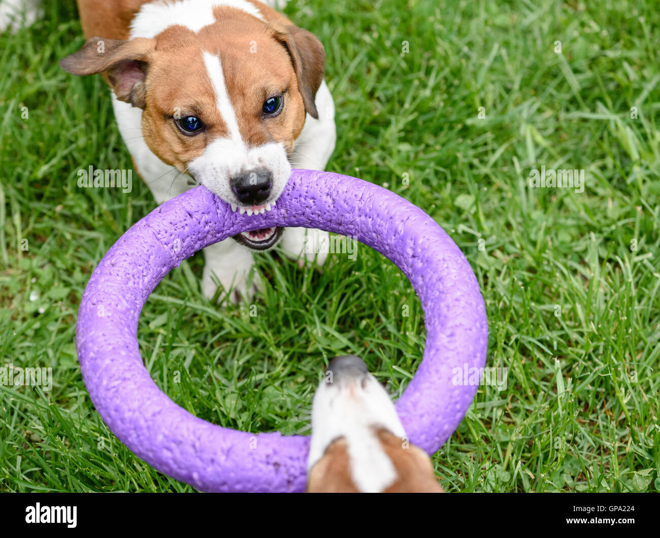 Angry dog pulling toy playing tug-of-war game - Stock Image