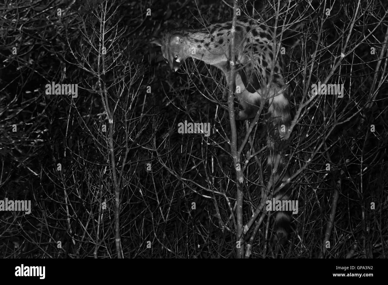 Common Genet (Genetta genetta) climbing on a tree at night - Stock Image