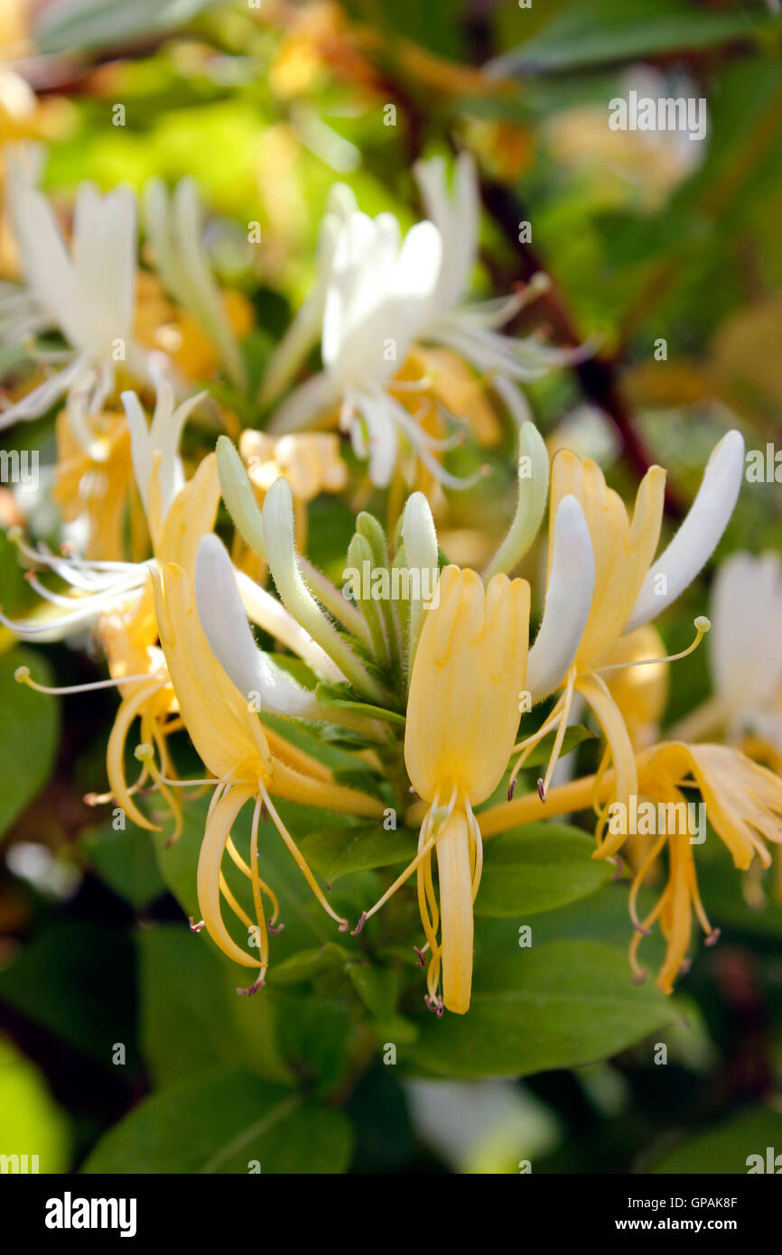 Honey yellow Honeysuckle flower in sunlight - Stock Image