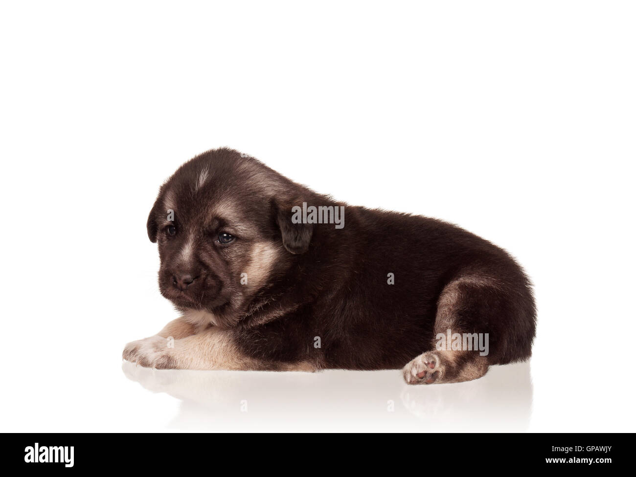 Cute puppy - Stock Image