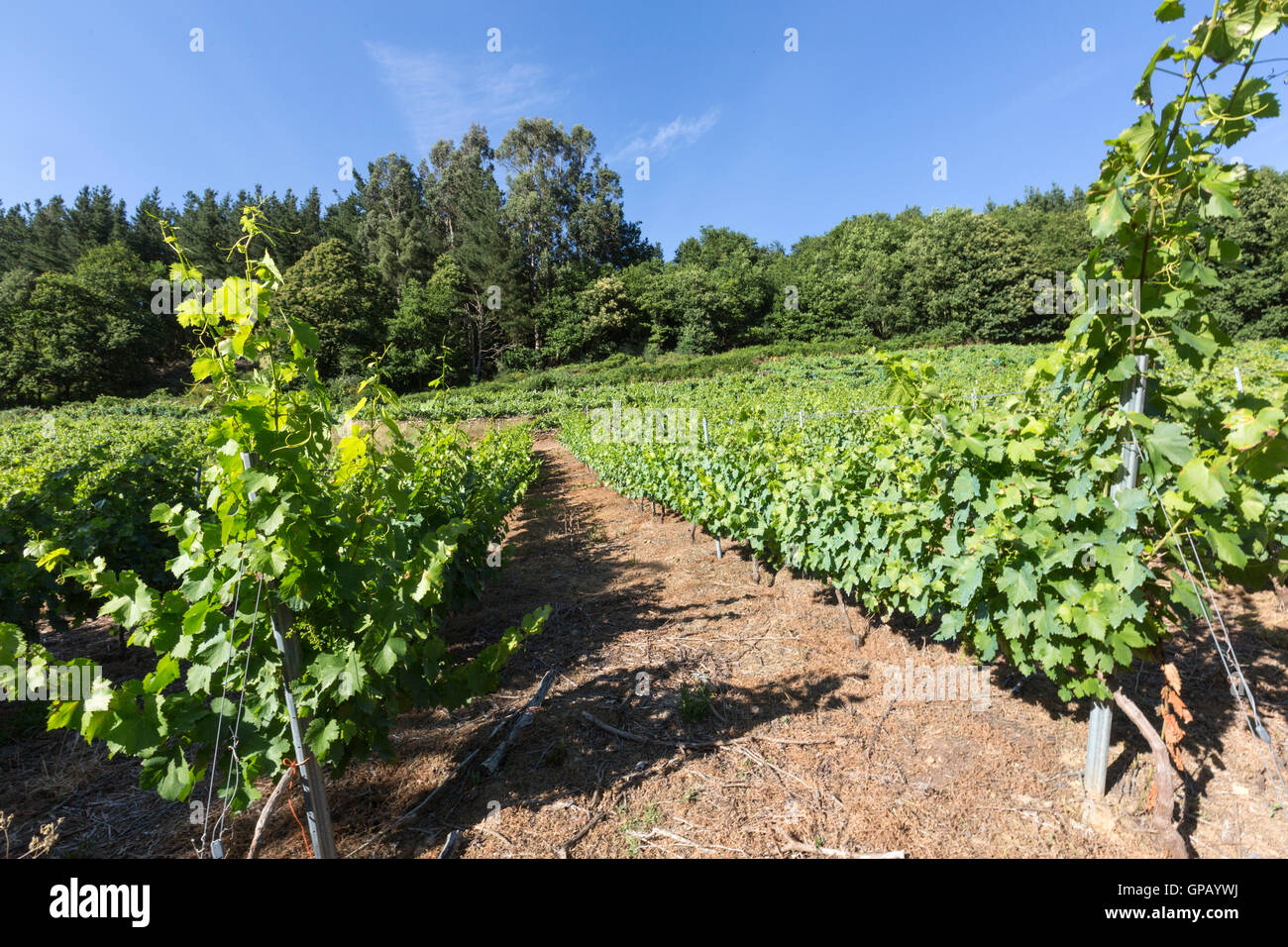 Grapes of Ribera Sacra DO in Miño river Paradela, Lugo Province, Galicia, Spain - Stock Image