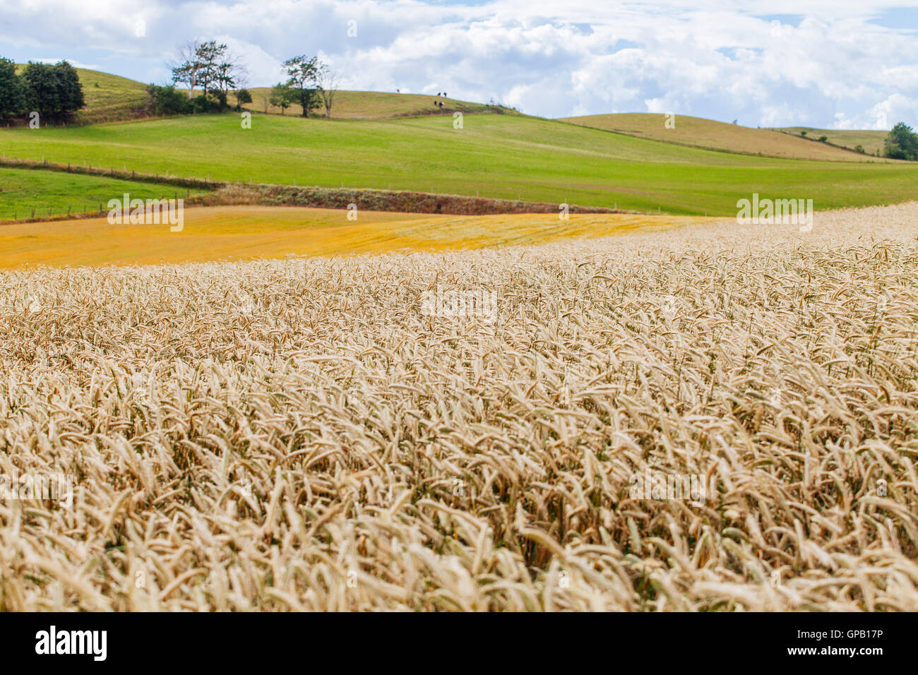A view of the Skåne landscape and its wheat fields - Stock Image