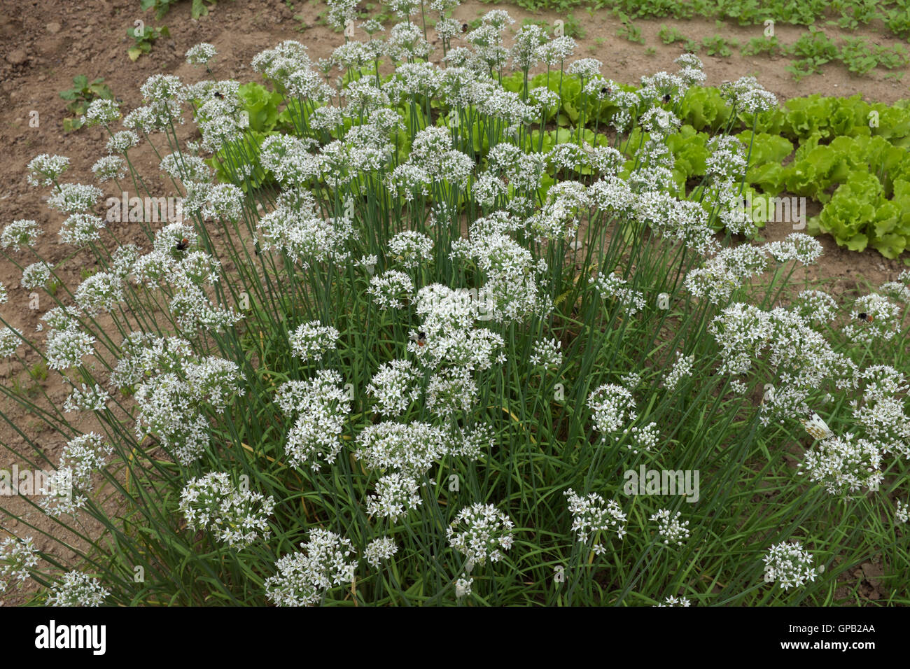 Flowers of fragrant-flowered garlic or Chinese chives. - Stock Image