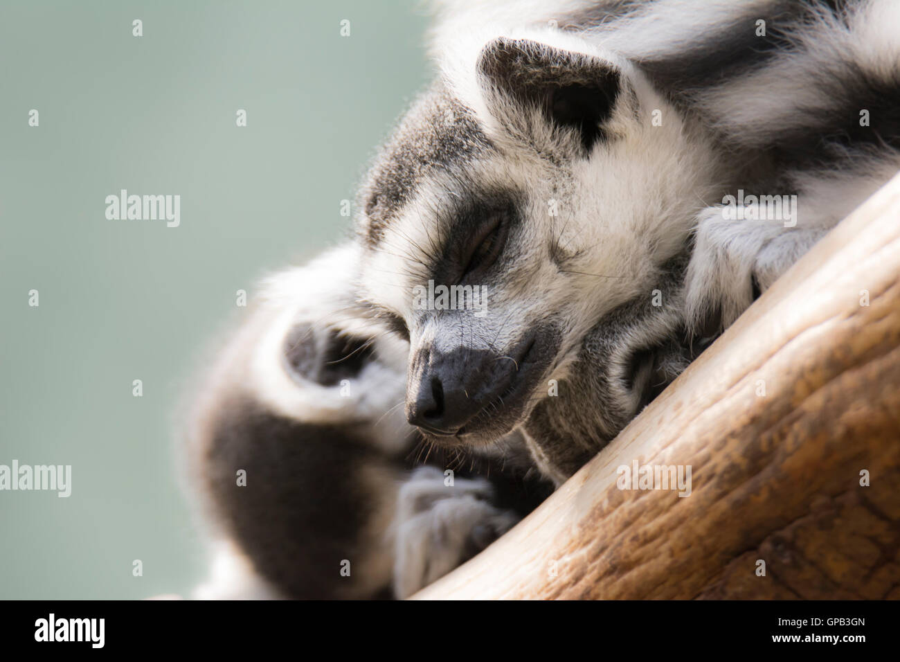 Closeup of dozing lemur cattas - Stock Image