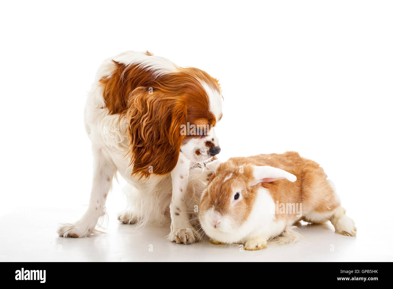 Dog with bunny. Dog with rabbit. King charles and lop are friends. Animal friends sit together in studio white background. - Stock Image