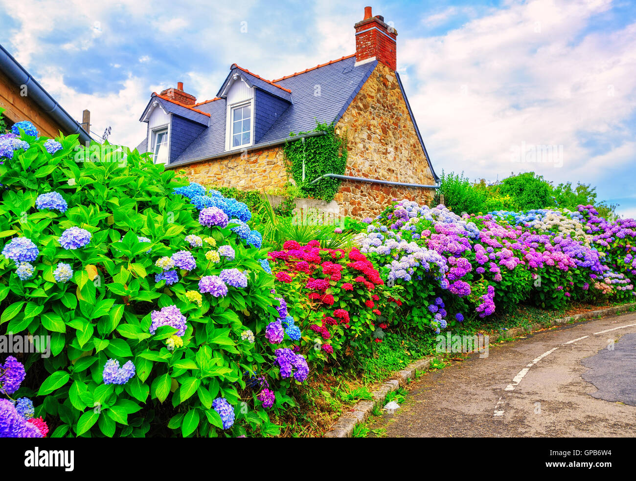 Colorful Hydrangeas flowers in a small village, Brittany, France - Stock Image
