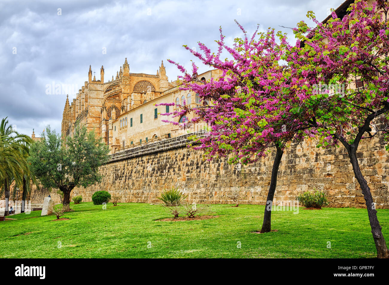 Red blooming cherry tree in front of La Seu, the cathedral of Palma de Mallorca, Spain - Stock Image
