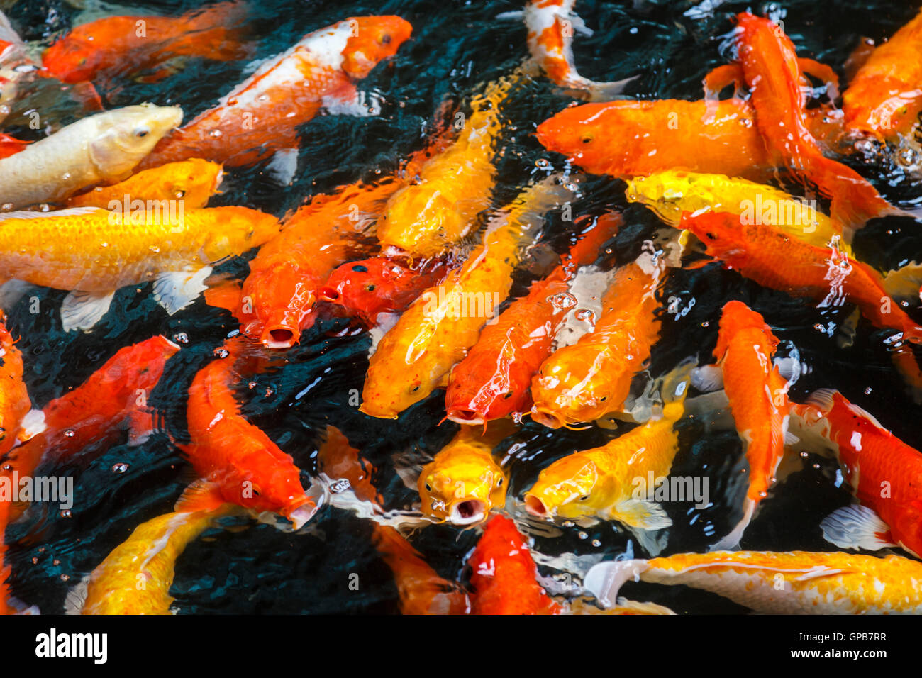 Goldfish with gaping open mouths competing to be fed - Stock Image