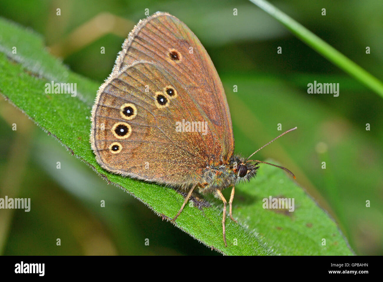 Ringlet butterfly, Aphantopus hyperantus, in a Cheshire meadow, England. Out in July in damp meadows. - Stock Image