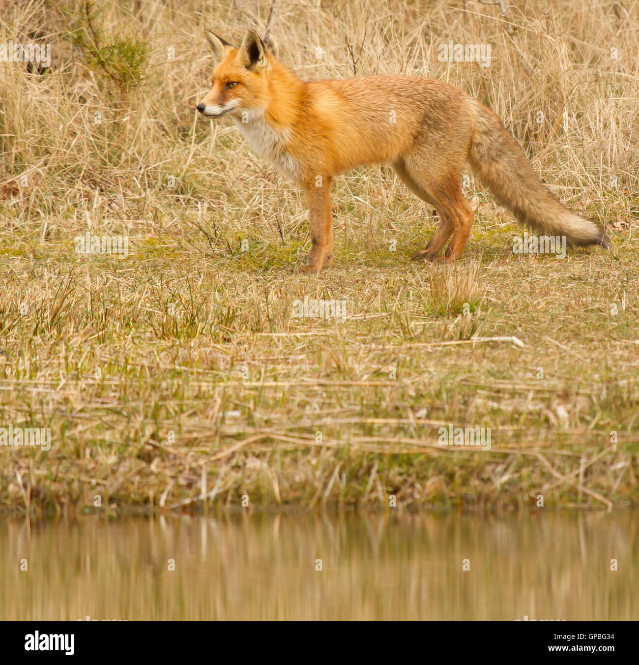 A fox in Holland - Stock Image