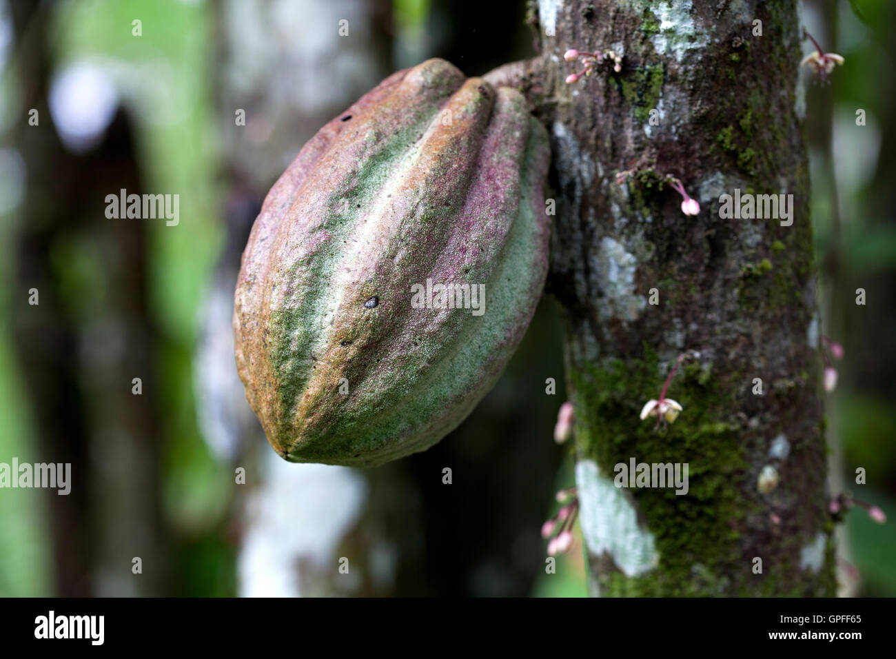 Cocoa pods on a cacao tree in Costa Rica - Stock Image