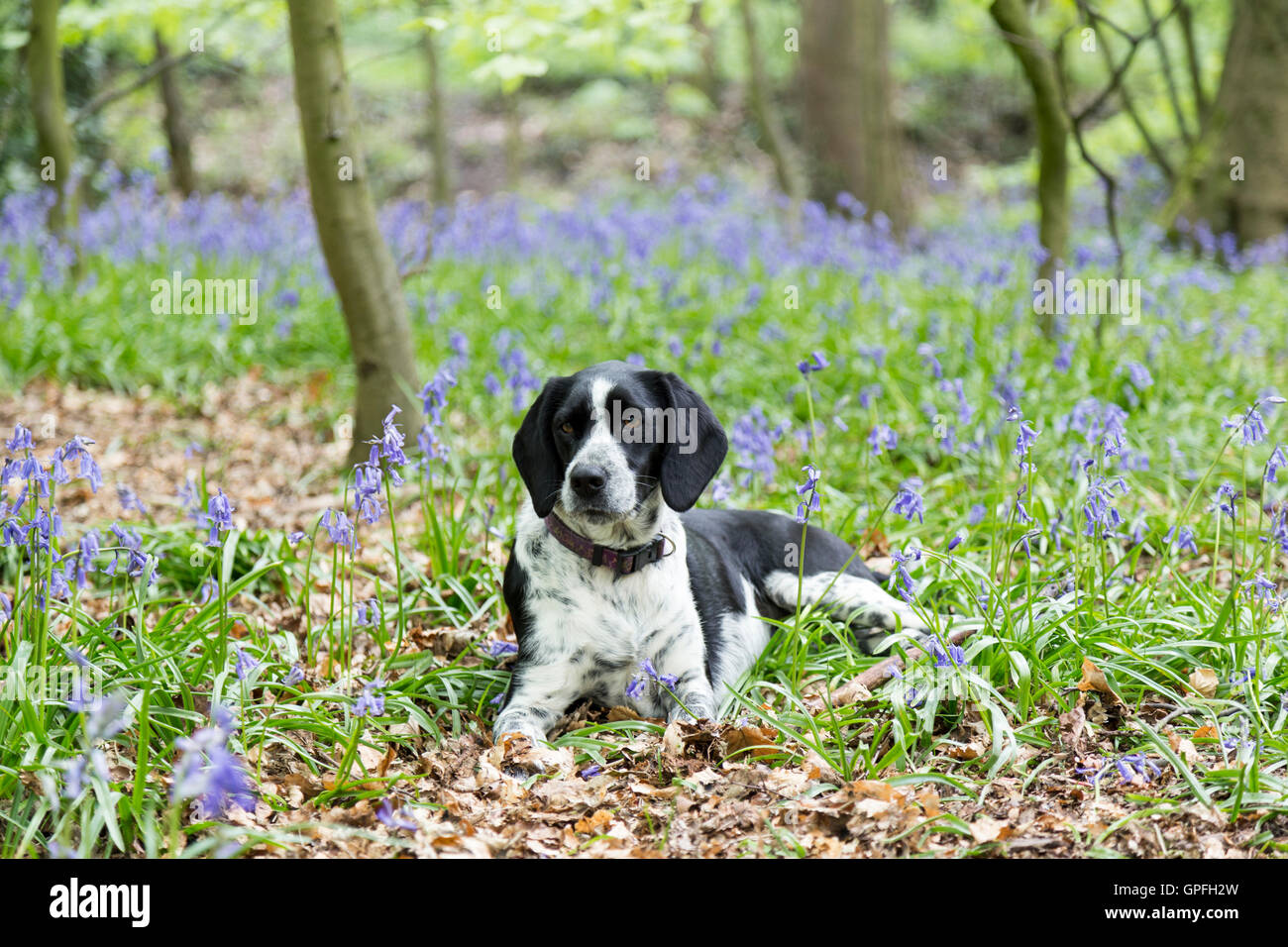 Black and white dog lay in a bluebell filled wood - pet portrait. - Stock Image