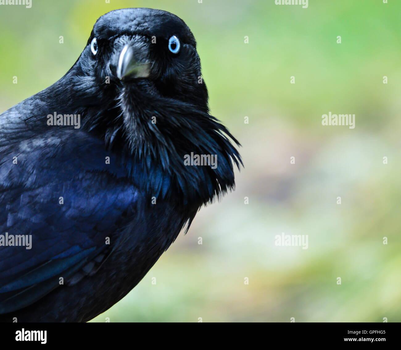 Closeup of an Australian Crow at a National park - Stock Image