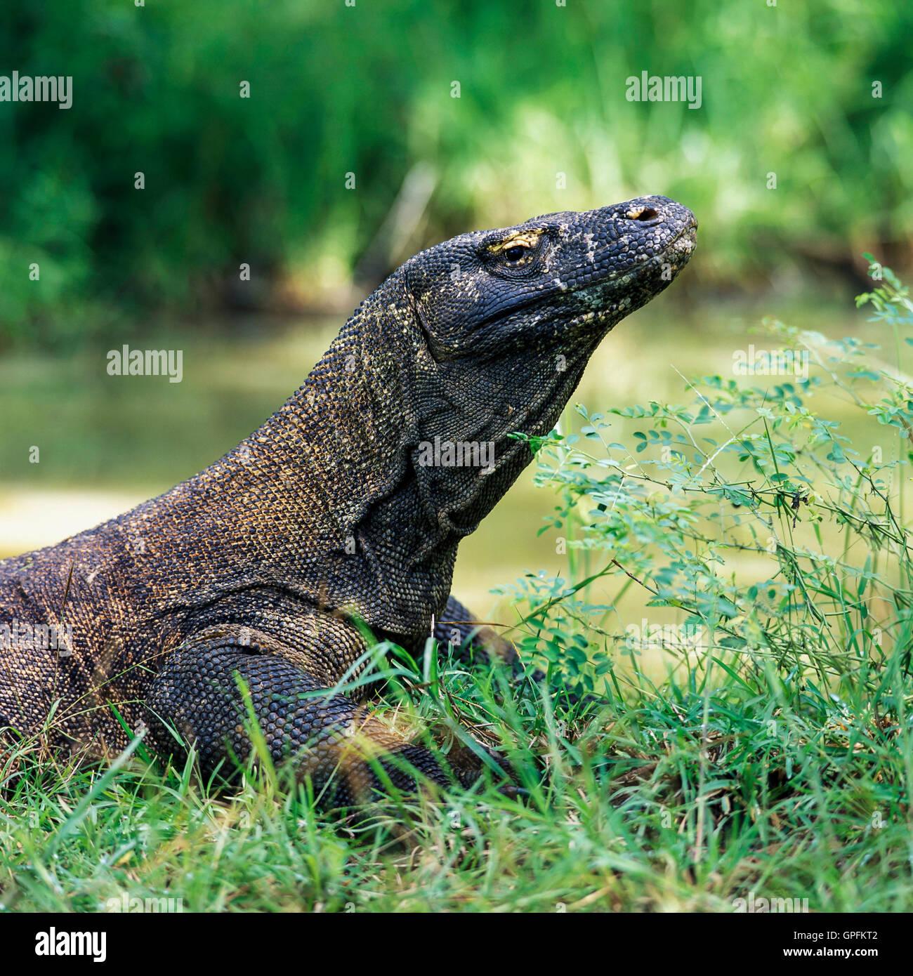 Komodo dragon. Komodo Island, Indonesia. (Varanus komodiensis) - Stock Image